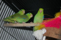 Hand raised Parrotlets for sale