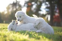 Pure Breed  Italian Maremma Sheepdog  Live Stock Guardian dogs
