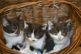 Adorable Scottish x black and white kittens females