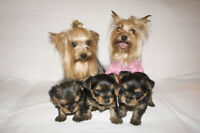 Purebred Toy Yorkies for sale.
