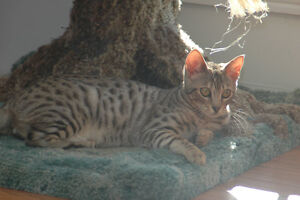 F6 SBT Male Savannah - Awesome Breeder or Pet