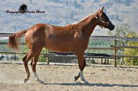 Outstanding Shining Spark/Doc O Lena Filly
