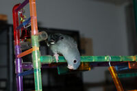 Lineolated Parakeet (Linnies) for Sale