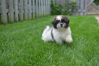 Beautiful Shih Tzu puppies come today 600 2 left