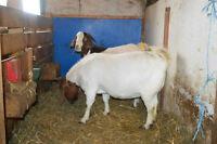 Chèvres Boers