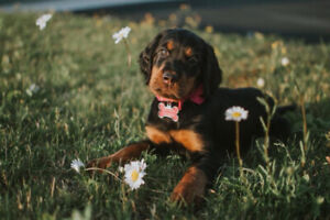 Registered Breeders | Adopt Dogs & Puppies Locally in Newfoundland