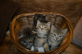 Adorable Scottish x kittens ready for collection