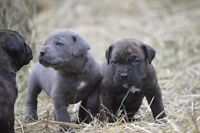 Purebred Cane Corso puppies available to knowledgable homes