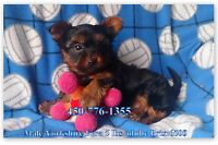 1 CHIOT YORKSHIRE MALE FERA 5 LBS ADULTE