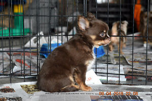 +++CHIHUHAU PUPPIES+2  BEAUTIFUL PUPPIES READY FOR FUREVER HOMES