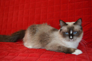 TICA Registered Ragdoll Cat for Rehoming