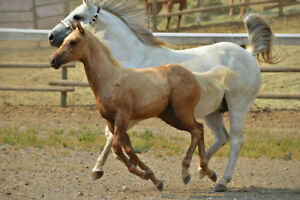 Palomino and Buckskin AQHA Colts