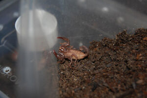captive born baby H. spinifer! Asian forest scorpions!
