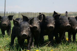 heritage pigs for sale