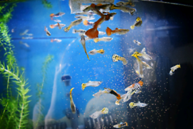 Guppies male/female for sale.