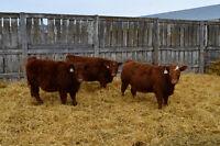 LD STOCK FARMS * 75 Simmental/Angus X Heifers - 4yr Red Bull