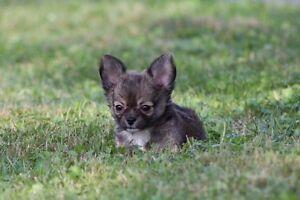 Petit Male chihuahua poil long enr. Ckc!