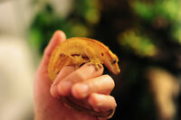 CRESTED GECKO and TARANTULA needs a new home