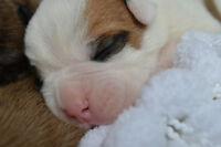 Valley Bulldog Puppies Have Arrived