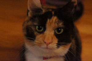 Looking for our lost calico named CALLIE