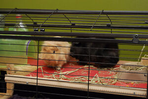 2 beautiful guinea pigs with habitat and all supplies