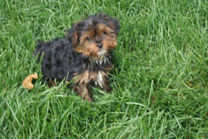 ABSOLUTELY STunning Teacup Yorkshire Terrier Girl !!