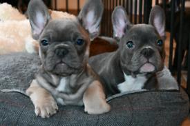 LAST BOY!!!French bulldog puppies kc registered