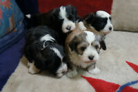 Absolutely adorable havanese purebred puppies in assorted colors