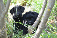 GIANT SCHNAUZER PUPPIES AVAILABLE
