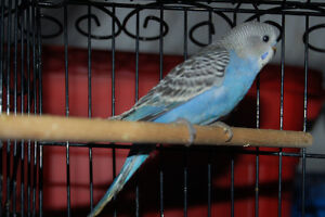 Budgie for sale!