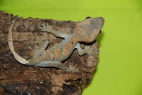 6 Unsexed Crested Geckos for Sale
