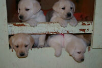 YELLOW LABRADOR PUPPIES (ENGLISH STYLE)