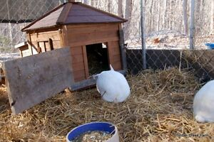 Hay, straw, shavings delivered to you in bales 4 yr small pets! Cambridge Kitchener Area image 5