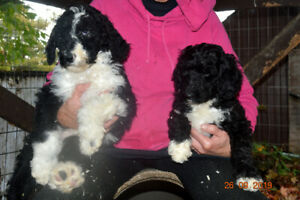+++BERNEDOODLE+F1B & MULTI+REDUCED TO FIND THEIR FUREVER HOMES++