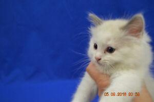 TICA Registerd Ragdoll Kittens