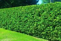 Cedar Hedges Specials!!