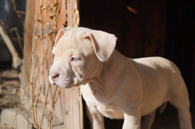 American Bully Pocket Male puppy available