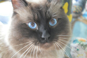Himalayan male cat