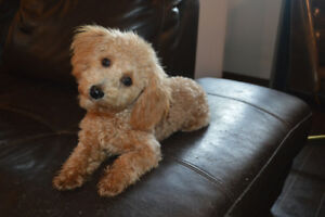 APRICOT MALTIPOO PUPPY FOR REHOMING