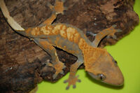 7 Female Crested Geckos for Sale