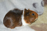 2 Guinea Pigs For Sale :)