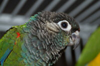 THREE BABY PEARLY CONURES