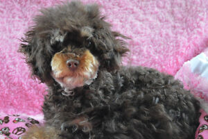 Beautiful Toy Cockapoo female for sale