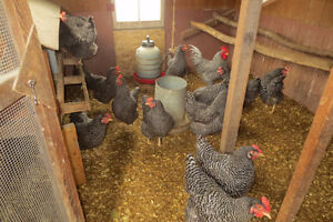 Plymouth Barred Rock Chickens