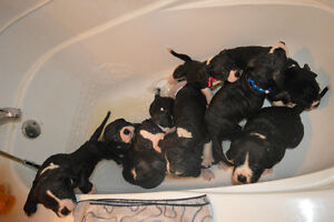 Alapaha Blue Blood Bulldog Puppies