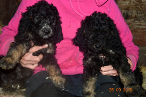 +++BERNEDOODLE+LABRADOODLES+ REDUCED TO FIND THEIR HOMES+++