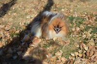 CKC Registered Pomeranian Young TINY Male!