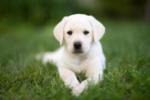 Recherche chiot ou chien Labrador pas trop âgé