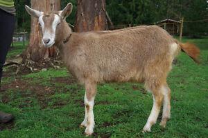 Purebred registered Toggenburg goat