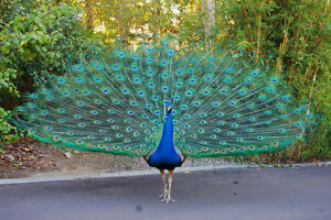 peafowl wanted!
